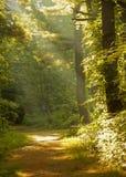 Raias de luz na floresta Fotos de Stock Royalty Free