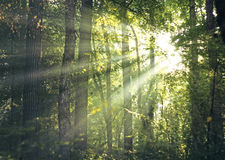 Raias de Sun através da floresta Imagem de Stock Royalty Free