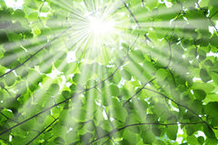 Raias de Sun através das filiais de árvore Imagens de Stock Royalty Free