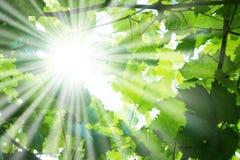 Raias de Sun através das filiais de árvore Fotos de Stock Royalty Free