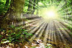 Raias de Sun através das filiais de árvore Foto de Stock Royalty Free