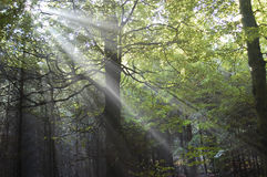 Raias de Sun na floresta Imagem de Stock