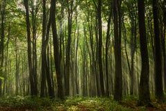 Raias de Sun na floresta Imagens de Stock