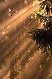 Raias de Sun nas madeiras Fotos de Stock Royalty Free
