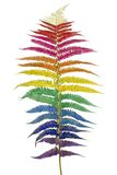 Raibow fern leaf isolated. Fern leaf  colored in psychodelic colors of a rainbow flag of homosexuals. Isolated Stock Images