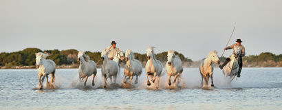 Raiders and Herd of White Camargue horses running through water Royalty Free Stock Images