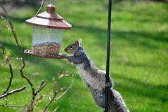 Raiding a Bird Feeder. A gray squirrel attempts to eat seed from a bird feeder royalty free stock images
