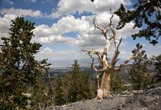 Raidissez-vous l'arbre de pin de cône au dessus de l'arête Photographie stock