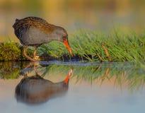 Rail de l'eau - aquaticus de Rallus photographie stock libre de droits