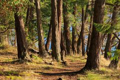 Trail through Douglas Firs in Montague Provincial Park, Galiano Island. A low sun shines through a grove of old Douglas Firs along the coastal trail in Montague stock photo