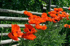 Rail fence and poppies. Bright red sunlit poppies flowering along a rustic country-side rail fence with a shadowy garden behind it. A contrast colourful Stock Photos