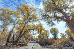 Rail track in populus euphratica forest. In autumn Stock Image