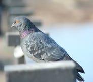 railing dove стоковое фото rf