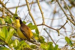 Railler-grive couverte par noir appelant d'un buisson épineux Photo stock