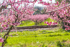 Railroad tracks along blossoming peach trees treated with fungic Stock Photos