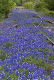 Railroad Tracks in Bluebonnets Stock Photography