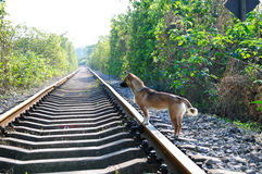 Railway track and dog Royalty Free Stock Photography