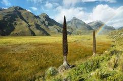 Raimondi de Puya, Huascaran, Peru foto de stock royalty free