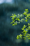 Rain. Willow branch in the rain. cold process Stock Photos