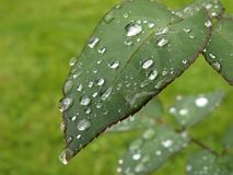 After the rain. Waterdrops on a rose leaf royalty free stock photography