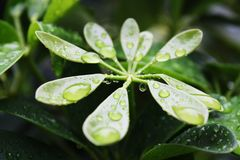 After The Rain. Green leaves after the rain Stock Photo