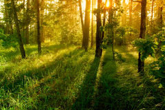 After rain. Sun rays in the forest stock photography