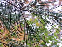 After the Rain. Water droplets on pine needles after a rain stock image