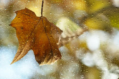 Rain. Falls on the yellow leaves Royalty Free Stock Photography