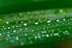 After Rain #4. Water droplets on leaves in Rockhampton, Central Queensland , Australia royalty free stock images