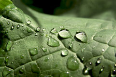 After rain. Leaf with drops of water after rain Stock Photos
