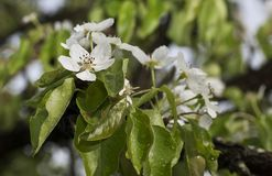 After the rain. The apple tree is blooming, it`s raining Stock Photography