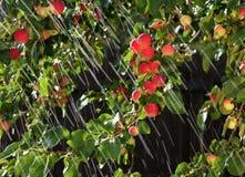 Rain on Applies. Summer Rain on Ripe Apples stock image