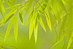 Rain in a Bamboo Forest Royalty Free Stock Photos