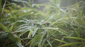 Rain on bamboo leaves stock video footage