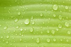 Rain on banana leaves Royalty Free Stock Image
