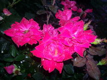 Rain on the beautiful roses. Raindrops cover the pink roses Stock Photo