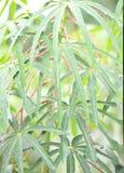 rain on cassava tree leaf Stock Image
