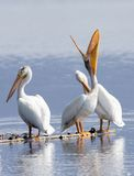 Rain Catcher. American Pelican helping a fish down his throat Royalty Free Stock Photo