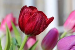 After the rain. Close up shot of garden tulip head after rainfall with other coloured tulips as background Royalty Free Stock Photo