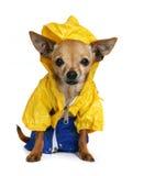 Rain coat. Tiny chihuahua dressed up in a raincoat Stock Image