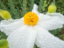 Rain covered flower Stock Photography