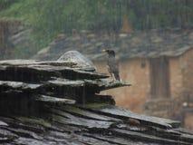 Rain and cuckoo. Bird enjoying rainfall Royalty Free Stock Photo