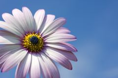 A Rain Daisy Against a Blue Sky Royalty Free Stock Photo