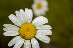 Rain on a daisy Stock Images