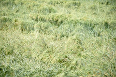 Rain damage in wheat field. A fresh wheat field damaged because of the weather Royalty Free Stock Photography