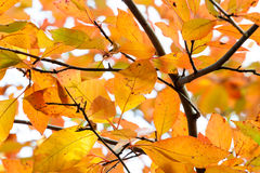 Rain Damaged Orange and Yellow Autumn Leaves Royalty Free Stock Images