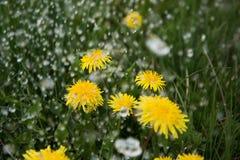 Rain on dandelions. Royalty Free Stock Photos