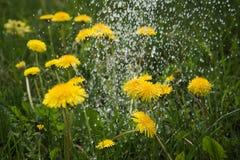 Rain on dandelions. Stock Image