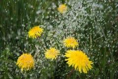 Rain on dandelions. Stock Photos