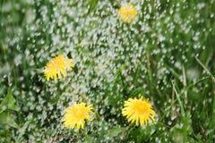Rain on dandelions. Stock Photography